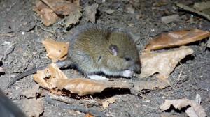 mice 3 (Small)