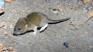 mice1 (Small)