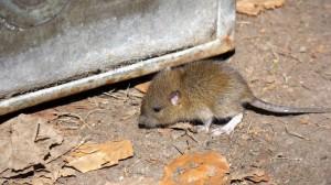 mice2 (Small)
